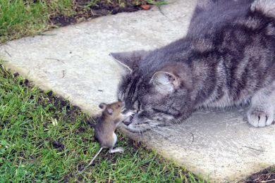"""بالصور.. فأر يضرب قطا على طريقة """"توم وجيري"""""""