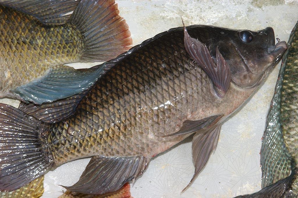 """صورة.. سمكة بـ""""فمين"""""""