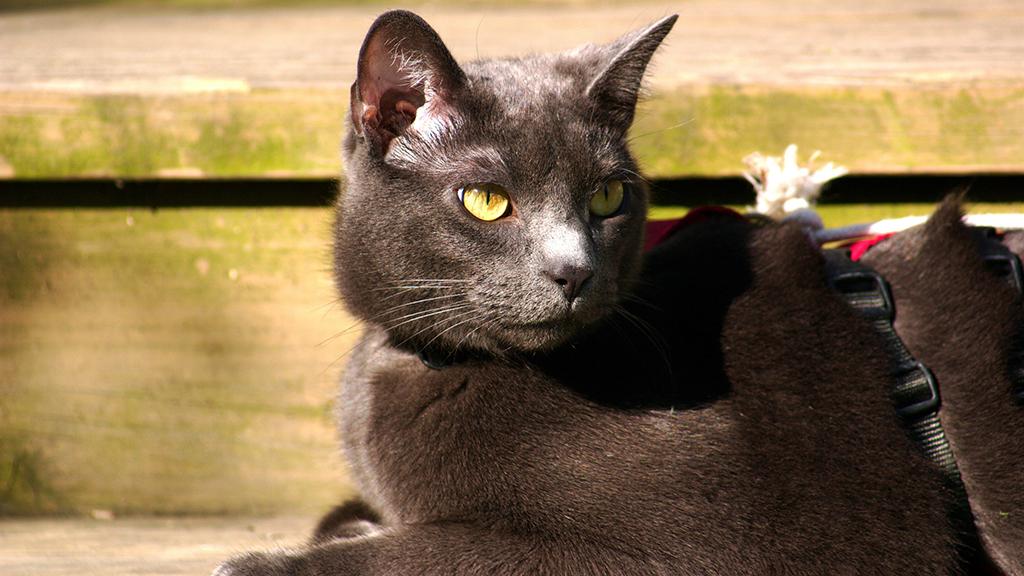 سحر قطط